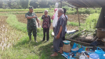 Sukseskan Swasembada Pangan, Babinsa Aktif Dampingi Petani