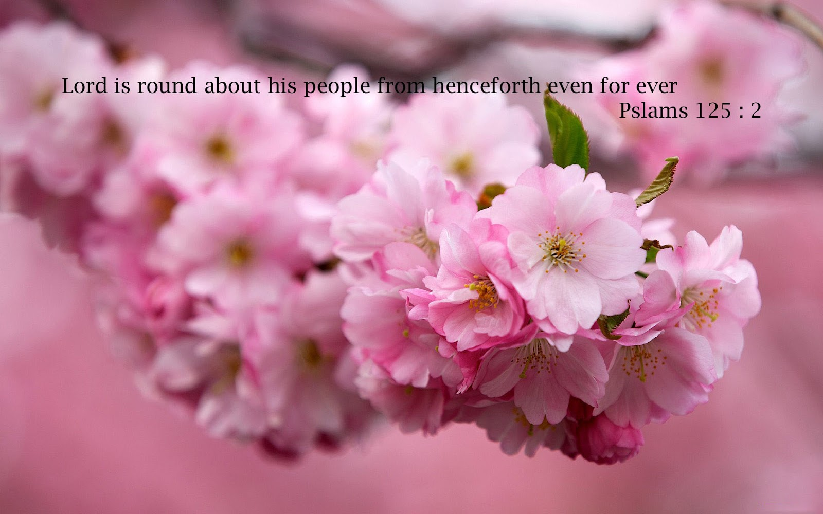 Cherry Blossom Flower Images With Bible Quotes