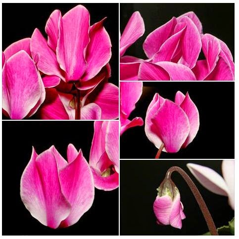Cyclamen Flower Photo Project: With Canon EOS 700D and various lenses