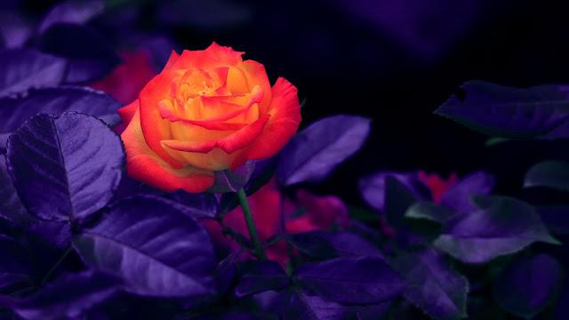 orange rosebud 4k HD flowers Wallpaper