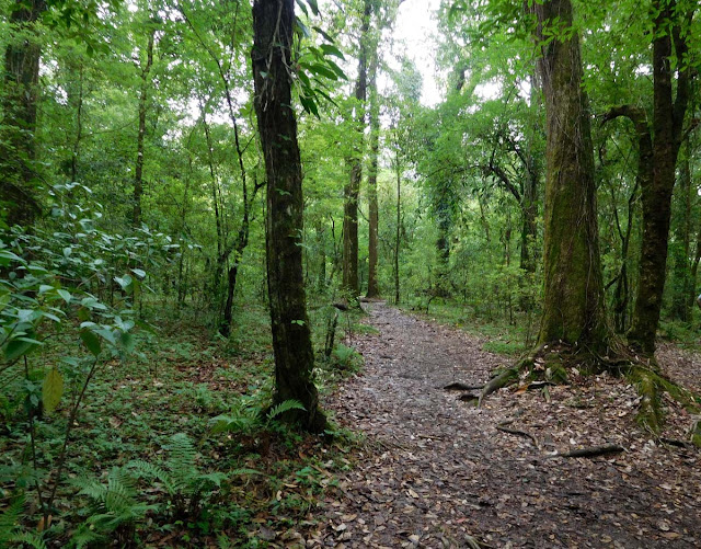 Walking trail through the Mawphlang Sacred Forest, Meghalaya