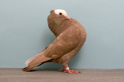 tumbler pigeons - german