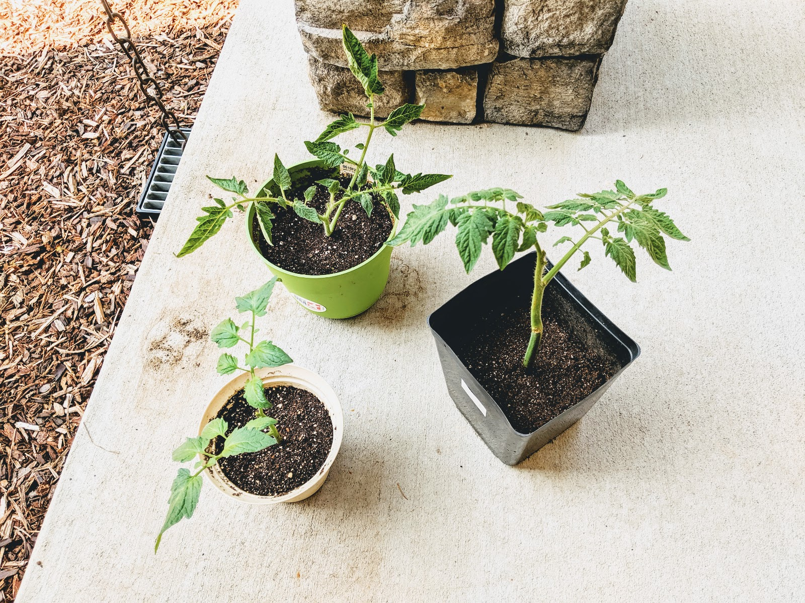 How to propagate tomatoes from cuttings