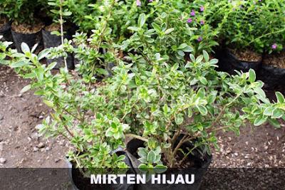 Tukang Taman Surabaya bunga mirten
