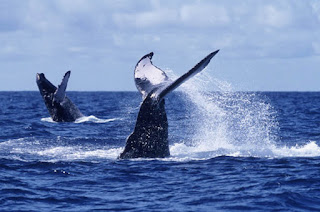 Anuncia México temporada 2018-2019 para avistamiento de ballenas