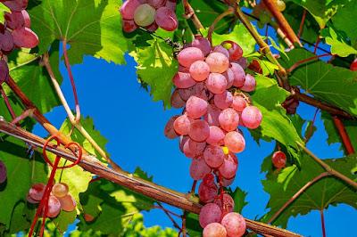 Penjelas Mengenai Bubuk Putih pada Buah Anggur