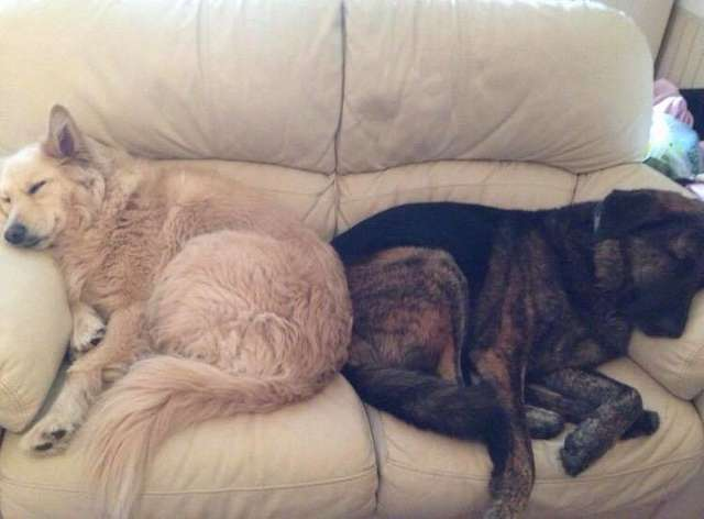 Mourning Dog Will Not Stop Cuddling The Pillow Of His Brother That Passed Away, And It's Heartbreaking