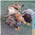 Homem estupra 200 galinhas por achar muito caro ter namorada