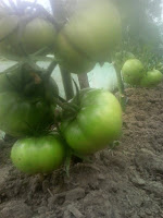 tomate cultivate in solar