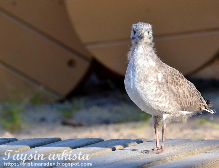 Sea gull chick