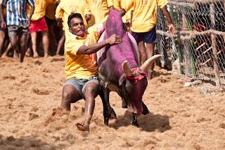 pongal festival jallikattu