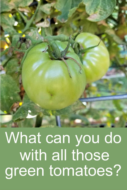 What can you do with green tomatoes? Here's how to predict a frost, ripen them on the vine and off the vine, plus recipes to use them up, here's what you can do with them!
