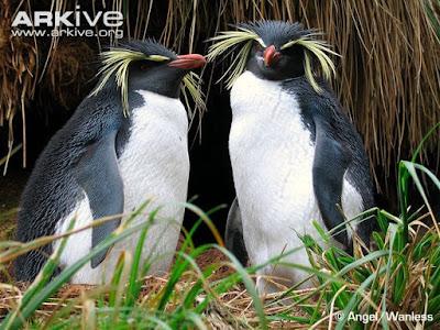 Northern rockhooper Penguin