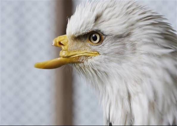 A águia Realmente Se Renova Quando Está Velha