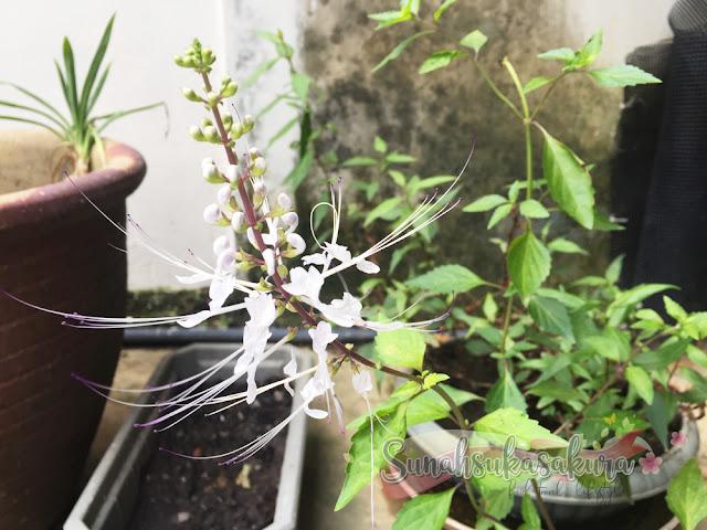 pokok misai kucing