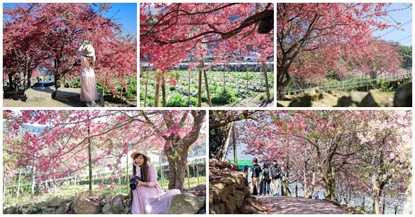 南投水里阿本農場2/8開始無限期休園,櫻花秘境成追憶