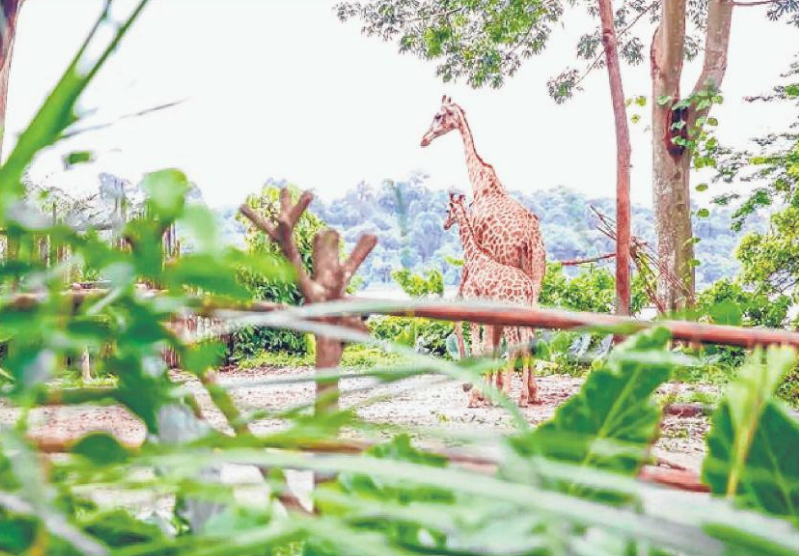 The Singapore Zoo's baby giraffe, who was born during the year-long SG50 celebrations, has been named Jubilee.