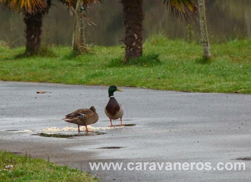 foto de los patos del camping Larroulera | caravaneros.com