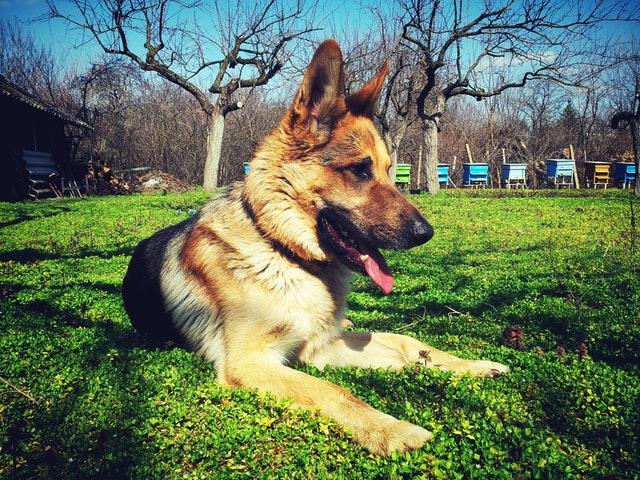 german-shepherd-special-dog-breed-jarman-safed