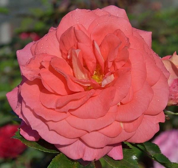 Sommersonne сорт розы фото