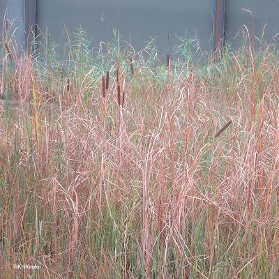cattail, Typha