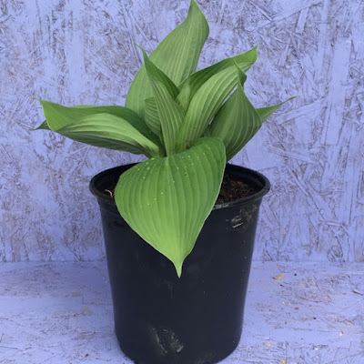 Blue Angel Hosta in Nursery Pot