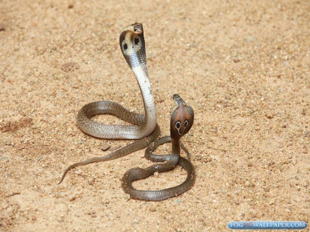 indian king cobra wallpapers wwwpixsharkcom images