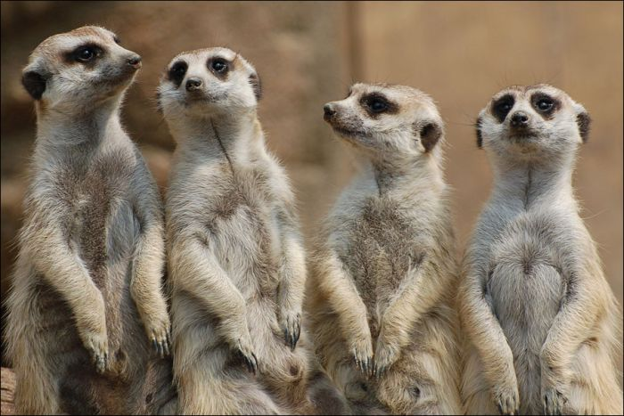 Funny Meerkat  Funny Animals
