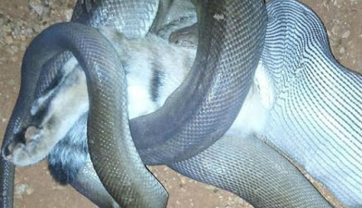 Gambar ular sanca sedang makan kucing