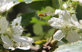 Paper wasp on blackberry flower, Polistes carolina or Polistes rubiginosus