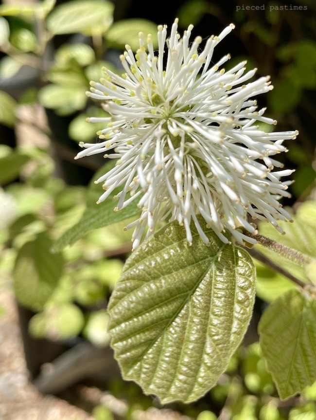 Fothergilla 'Mount Airy' at Pieced Pastimes