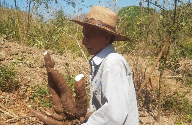 En Chorrera, jurisdicción de Juan de Acosta, 50 hectáreas de yuca están a punto de perderse porque no hay quien compre la cosecha