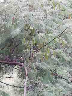 Khair - tree- leaves