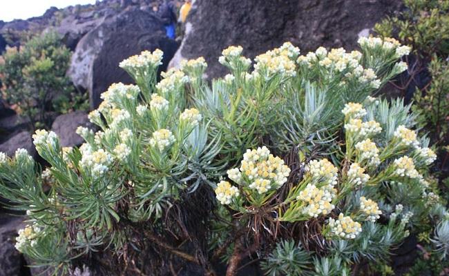 Fakta unik bunga edelweis