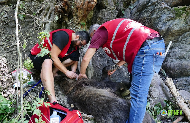 Brown Bear trapped by three days rescued in Albania
