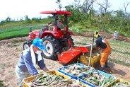 鳥取市福部町で砂丘らっきょうの収穫開始!