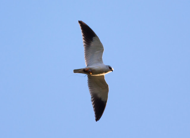 Black-shouldered Kite - Portugal