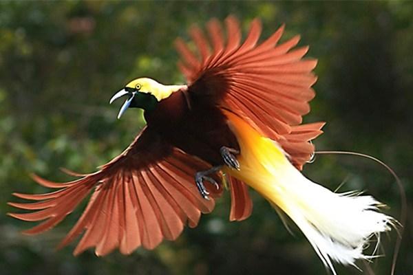 Cendrawasih, Si Burung Surga