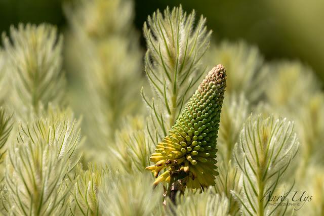 Fynbos Kirstenbosch