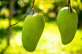 Ilustrasi buah mangga oleh Josch13 dari pixabay.com