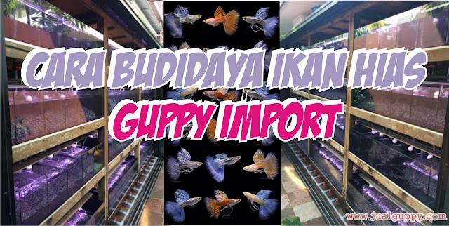 Cara Budidaya Guppy Hias