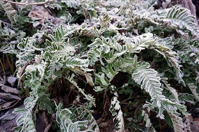 fern, frost,