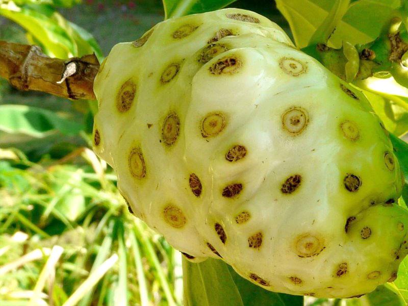 manfaat daun dan buah mengkudu bagi kesehatan