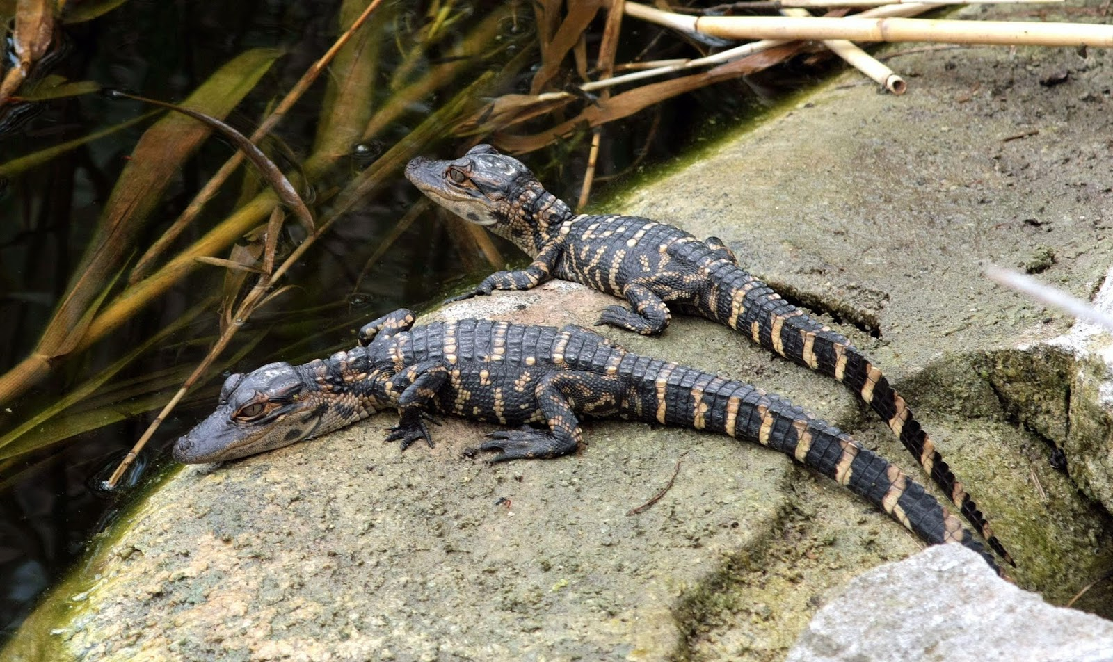 baby Alligator HD Wallpapers, animal wallpapers