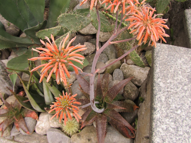 Steli ed infiorescenze Aloe saponaria