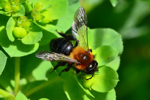 Andrena thoracica