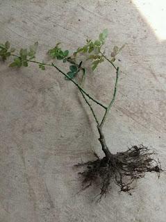 đất chai cứng rễ cây
