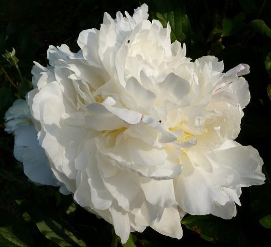 Peônia flor