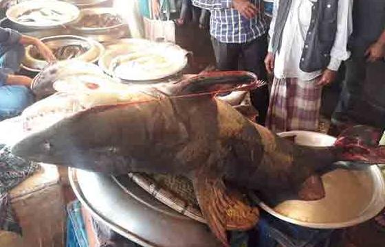 বাংলাদেশে জেলের জালে ধরা পড়লো ১২০ কেজি ওজনের বাঘ মাছ | Digontonewsbd.com