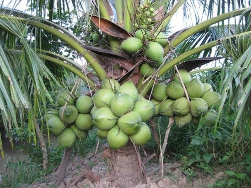 Bibit kelapa genjah entok unggul berkualitas dijamin berbuah 2 3thn Jayapura